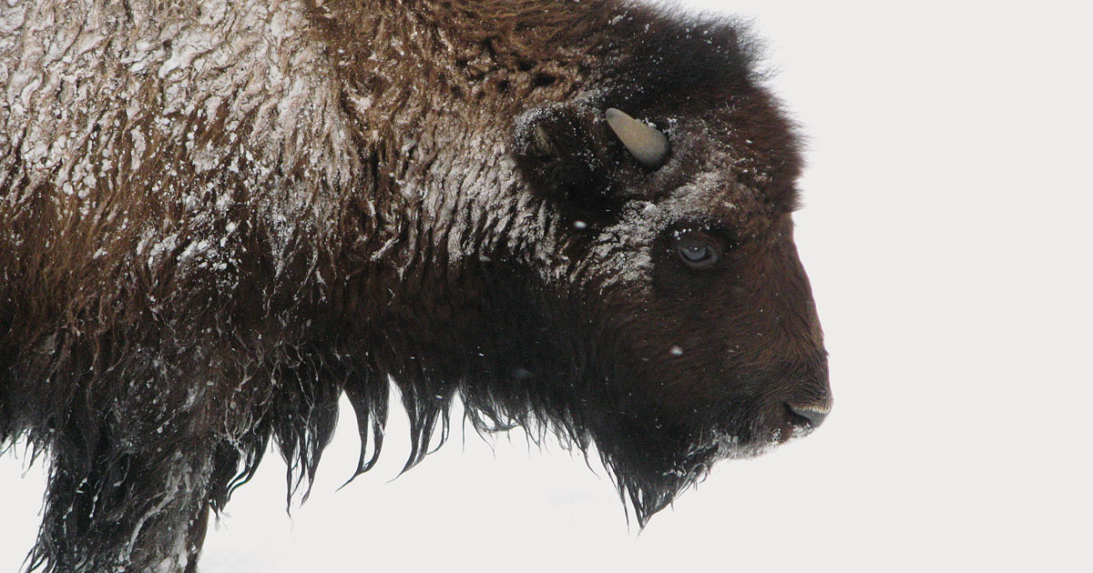 See a Different Side of Yellowstone Park in Winter