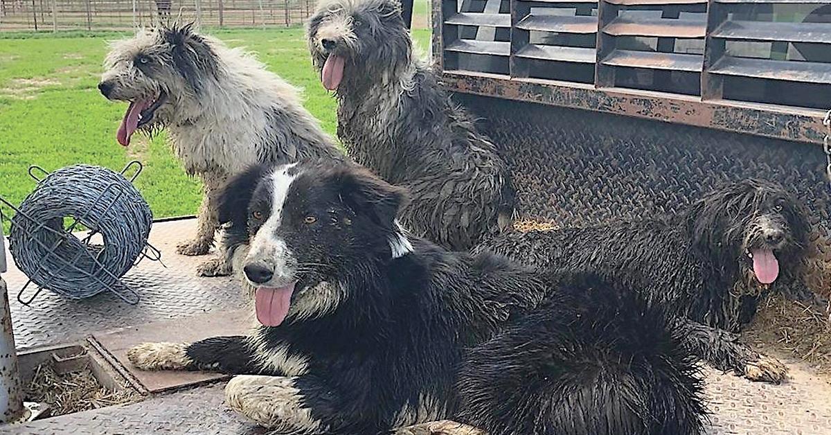 Idaho Shags: Tough, Loyal, with an Instinct to Herd
