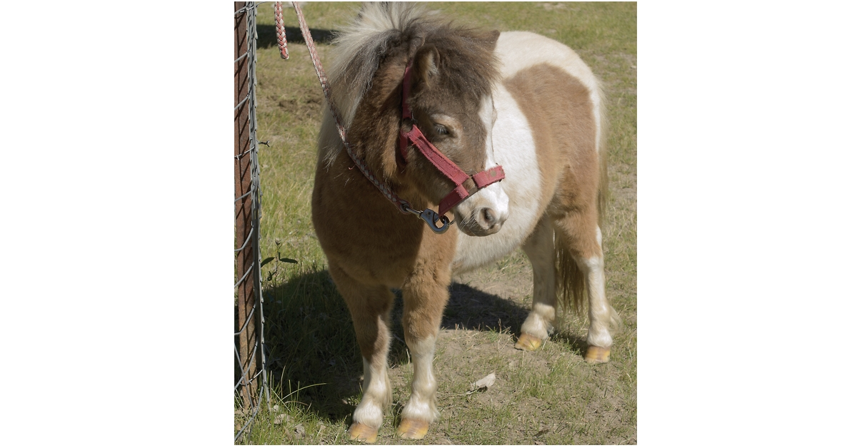 Mini-Joys: small therapy horses