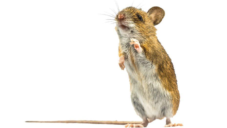 Wood Rat