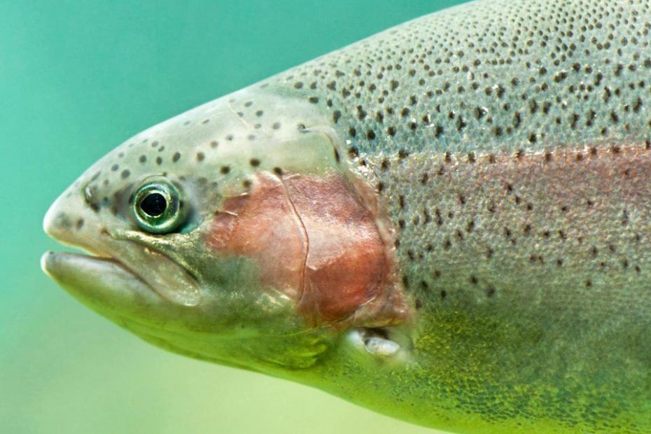 Steelhead close-up floating under aquamarine water background