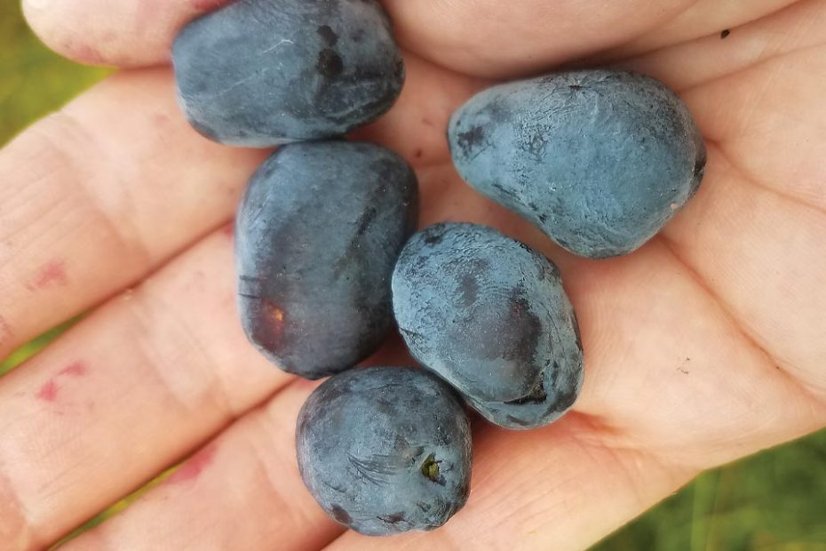 Haskap Berries—the superfood that's easy to grow