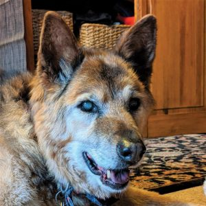 Photo of old Valkyrie, the dog who rescued her owners from a plane crash.